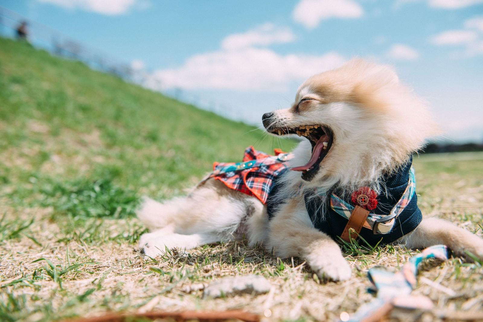 あくびをする小型犬